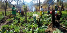 As sementes deram frutos! Famílias afetadas pelo Idai iniciaram as suas colheitas
