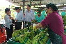 Comissão Europeia visita trabalho da Oikos no Peru na produção de banana orgânica