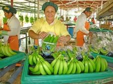 Peru: Vale de Chira visa melhorar a cadeia de produção de banana orgânica