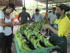 Banana orgânica produzida no Peru conquista o mercado da União Europeia