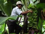 Oikos dinamiza comércio justo de banana orgânica no Peru