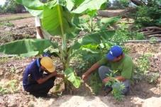Desenvolvimento sustentável do setor bananeiro no Peru reduz a pobreza de pequenos produtores